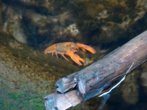 Yabbie or Orange Crayfish