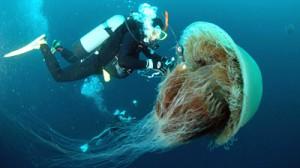 Giant_Nomura_Jellyfish